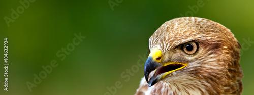 Fotografie, Obraz Banner format photo of a Common Buzzard (Buteo buteo)