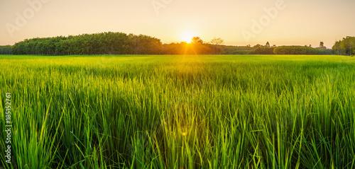 Fototapeta Rice field with sunrise or sunset in moning light