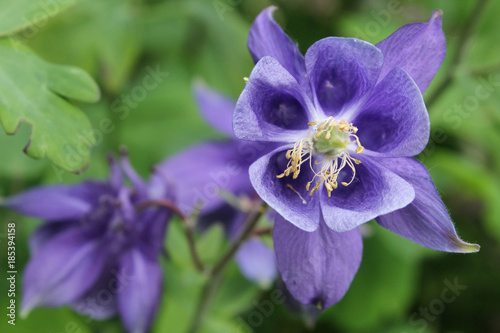 violette Blume mit 5 geöffneten Kelchen, Akelei, Aquilegia x caerulea Fototapeta
