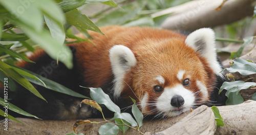 Fotografia Cute red panda