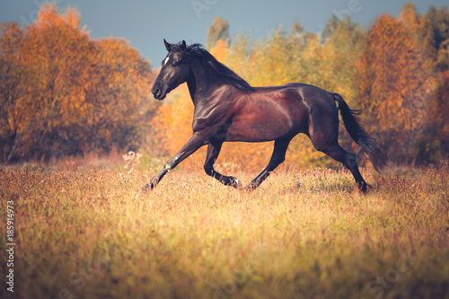 Wallpaper Mural Black horse galloping on the autumn nature background