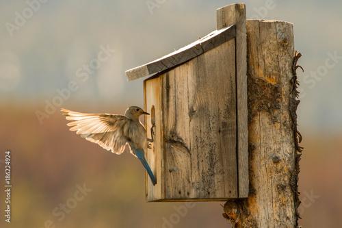 Obraz na płótnie A Mountain Bluebird Gets the Nest Ready for the Young Ones