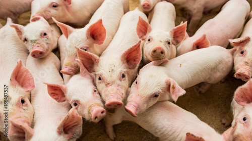 trzoda chlewna grupa świnek