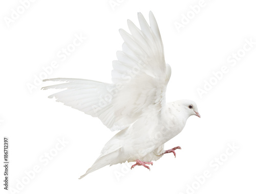mooving isolated pure white dove