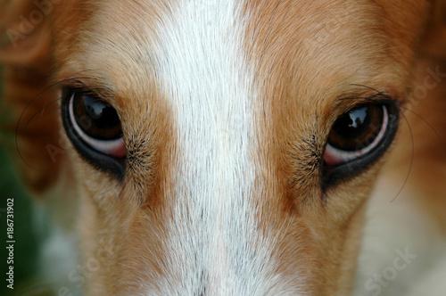 Canvas-taulu Deep look into a borzoi's almond eyes