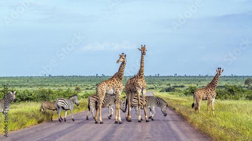Fototapeta premium Żyrafa i zebra stepowa w Parku Narodowym Krugera, RPA