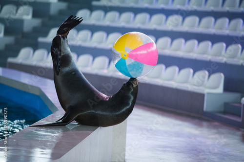Fototapeta premium lew morski zwierząt gra w piłkę