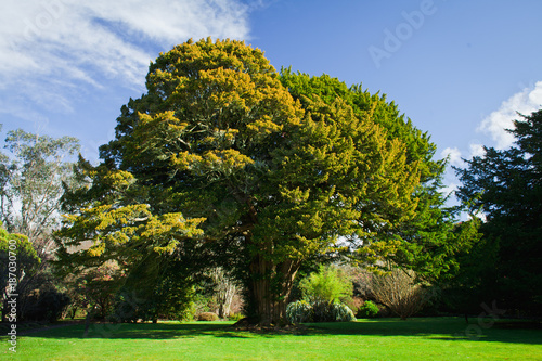 Old yew tree in the garden. Fototapeta