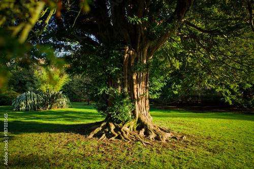 Obraz na płótnie Old yew tree in formal garden
