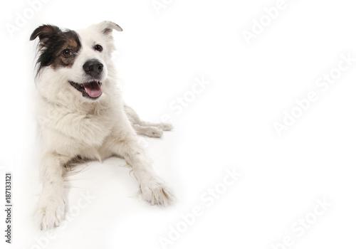 Canvas Print mongrel dog on white