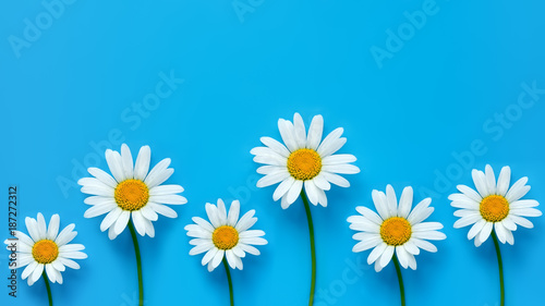 Chamomiles on blue background. Spring backdrop. Wide format. Top view.