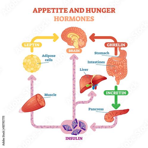 Wallpaper Mural Appetite and hunger hormones vector diagram illustration, graphic educational scheme