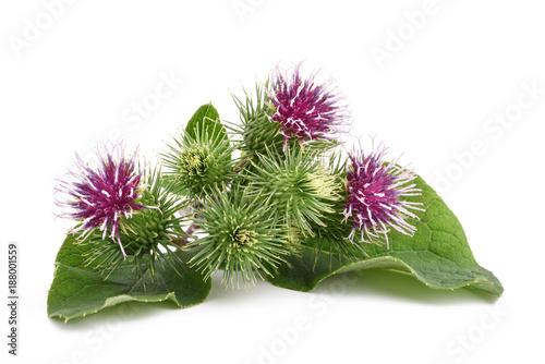 Fotografia Większe kwiaty łopianu