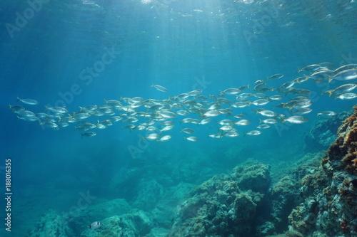 Leinwand Poster Spain Mediterranean sea underwater a school of fish seabreams salema porgy, Sarp