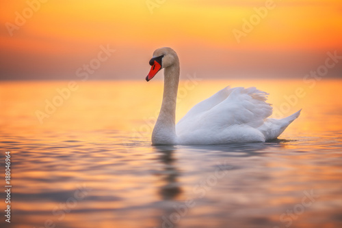 White swan in the sea water, sunrise shot