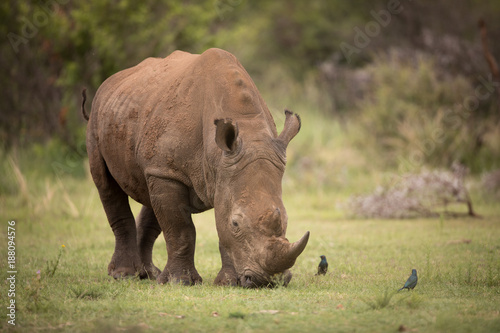 Fototapeta premium White rhino grazing
