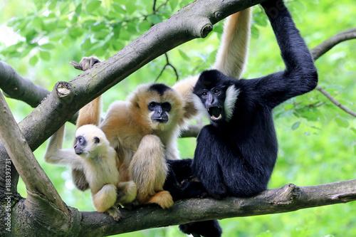 Valokuvatapetti Yellow cheeked gibbon