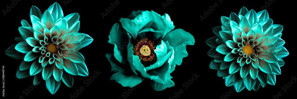 3 surrealistyczne egzotyczne wysokiej jakości turkusowe kwiaty makro na czarnym tle. Obiektów kartkę z życzeniami na rocznicę, ślub, matki i dzień projektowania kobiet <span>plik: #188449744   autor: boxerx</span>