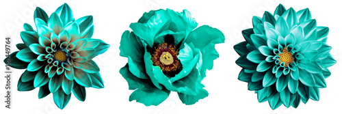 3 surreal exotic high quality turquoise flowers macro isolated on white. Greeting card objects for anniversary, wedding, mothers and womens day design