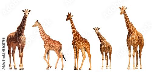 Fototapeta premium Siatkowa rodzina żyrafa, matki i młode, na białym tle