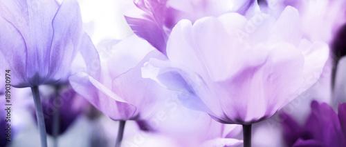 tulips pink violet ultra light