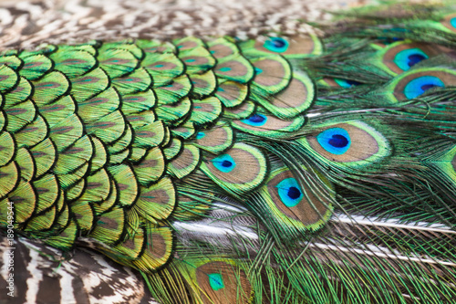 Fototapeta premium Peacocks, colorful details and beautiful peacock feathers.