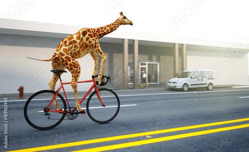 Fototapeta premium Żyrafa jeździ rowerem