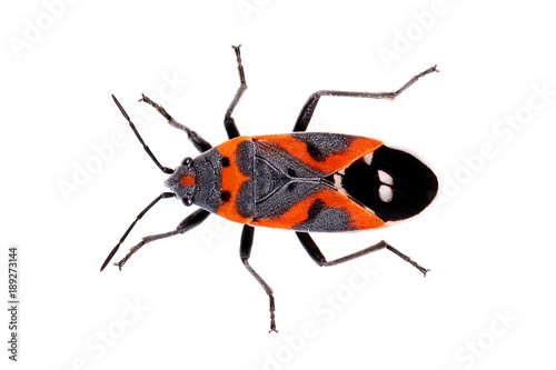 Foto Bug Small Milkweed Bug Lygaeus kalmia red black with heart