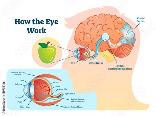 Canvas Print How eye work medical illustration, eye - brain diagram