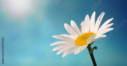 beautiful white daisy covered with dew in sunlight in blue sky background