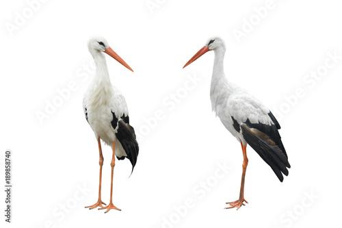 Canvas Print two stork