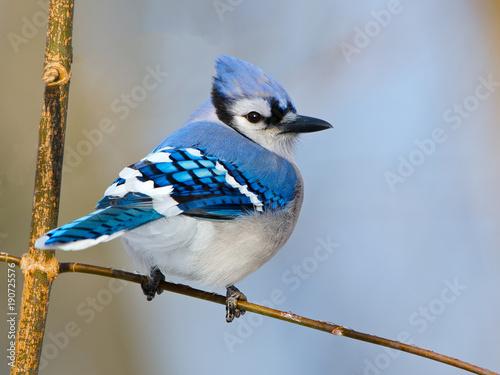 Wallpaper Mural Blue Jay on Branch