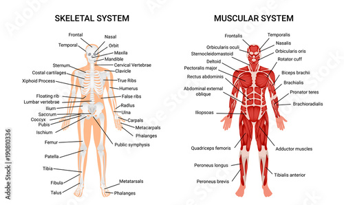 Canvas Print Human Muscular Skeletal Systems Poster