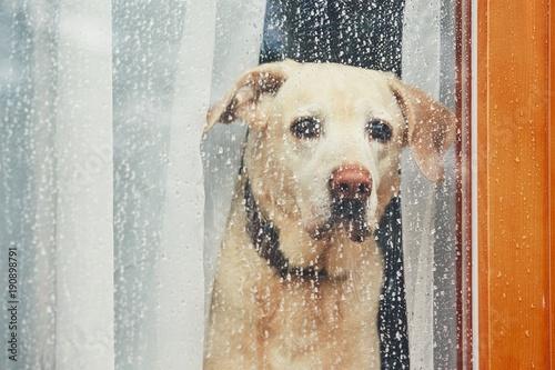 Canvas Print Sad dog waiting alone at home