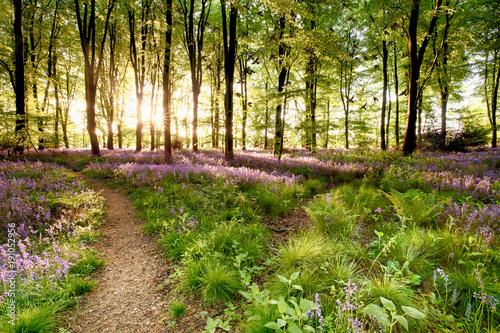 Bluebell woods with birds flocking through the trees duing early morning sunrise. Magical forest with paths leading through the beautiful flowers in spring time.