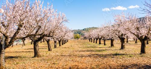 Foto Blooming almond tree garden background