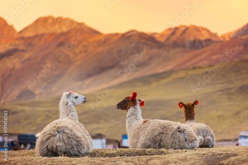 Canvas Print Llama