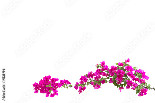 Fotografía bougainvilleas isolated on white background.