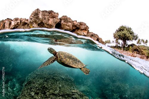 Obraz na płótnie Beautiful Green sea turtle swimming in tropical island reef in hawaii, split ove