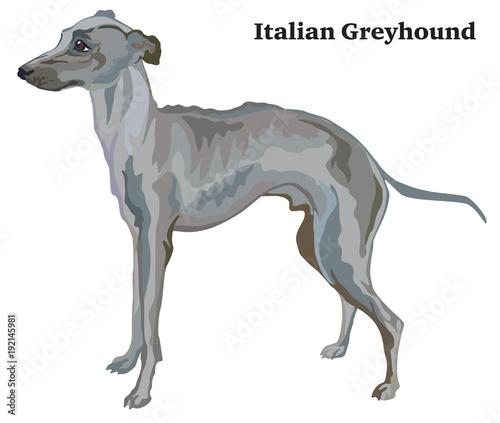 Valokuva Colored decorative standing portrait of Italian Greyhound vector illustration