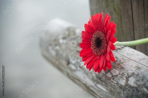 Obraz na plátně gerbera rouge coupé sur barrière en bois