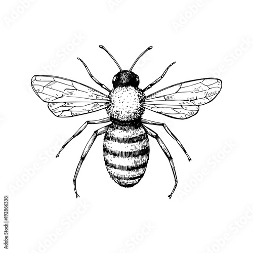 Fototapeta Honey bee vintage vector drawing. Hand drawn isolated insect ske