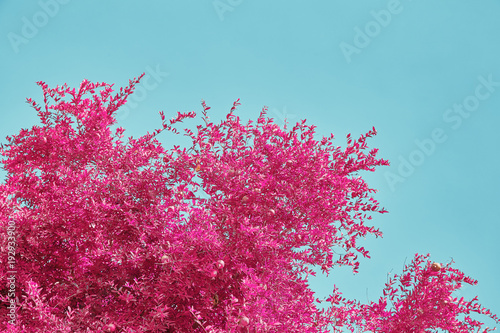 Photo A branch of a pomegranate tree against a blue sky background photographed using an infrared filter