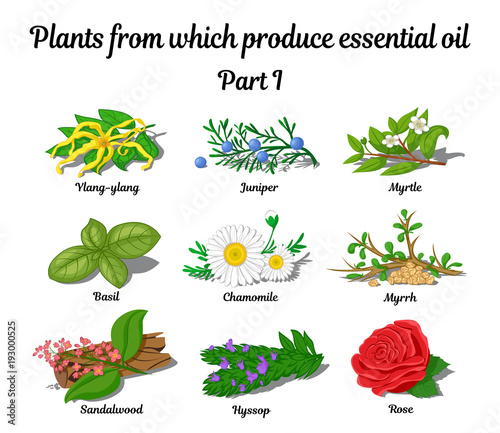 Fotografia Plants from which produce essential oils