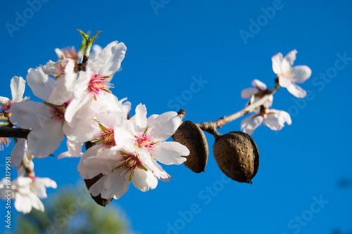 Fotografija The almond tree flowers with branches and almond nut close up, blurry background