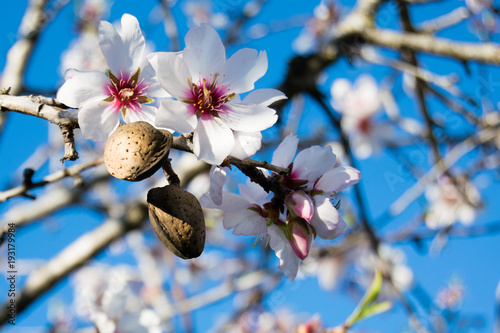 The almond tree flowers with branches and almond nut close up, blurry background Fotobehang