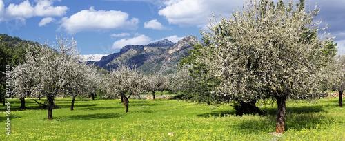 Canvas almond trees