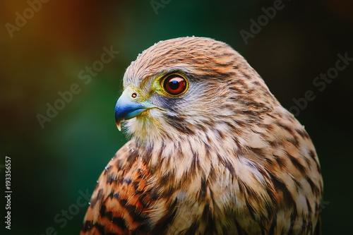 Fototapeta Common Kestrel (Falco Tinnunculus)