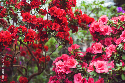 Cuadros en Lienzo Pink and red camellia flowers among the green leaves of the bush