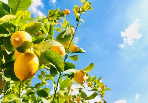 Yellow lemons on blue sky